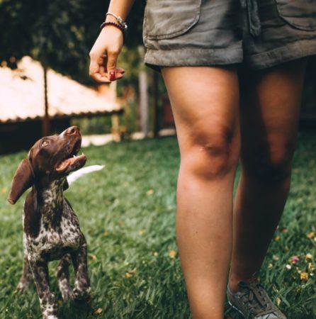 Pointer pup heeling